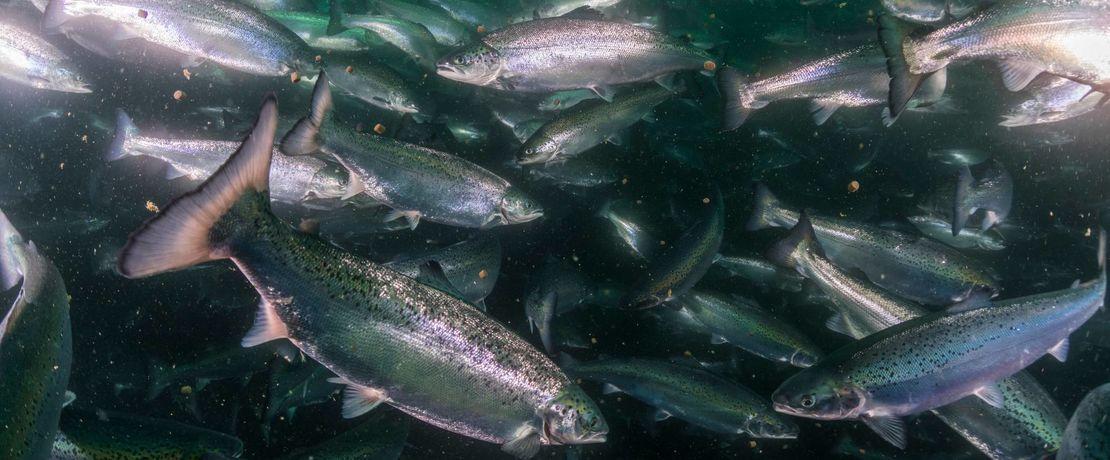 """Veramaris hat die prestigeträchtige """"F3 Fish Oil Challenge"""" für den größten Absatz der Omega-Fettsäuren EPA und DHA sowie der Omega-6-Fettsäure ARA an die Aquakulturindustrie gewonnen."""